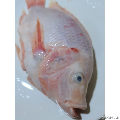Tilapia Fish RED TILAPIA  罗非鱼、富贵鱼- Food grade vacuum packaging, can be keep up to 3 months.